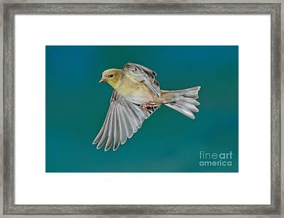 American Goldfinch Hen In Flight Framed Print