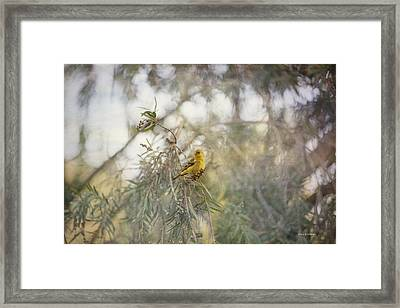 American Goldfinch In Winter Plumage Framed Print by Angela A Stanton
