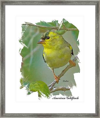 American Goldfinch Framed Print by Larry Linton