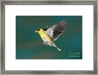 American Goldfinch Male-flying Framed Print