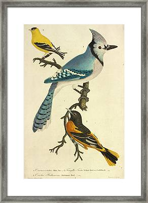 American Goldfinch Framed Print by Natural History Museum, London