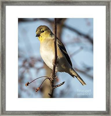 American Goldfinch Framed Print by Ricky L Jones