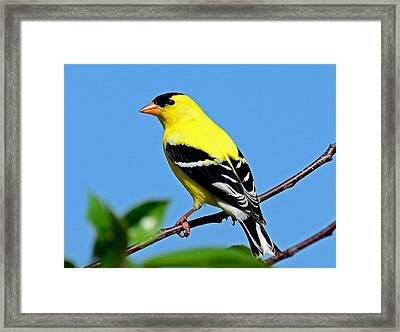 American Goldfinch Framed Print by Rodney Campbell