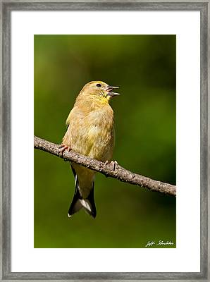 American Goldfinch Singing Framed Print