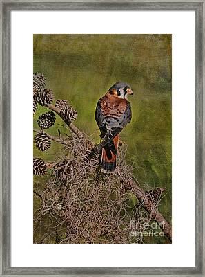 American Kestrel Framed Print by Deborah Benoit