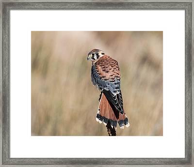 American Kestrel Falcon Framed Print