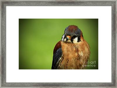 American Kestrel Focus Framed Print by Inspired Nature Photography Fine Art Photography