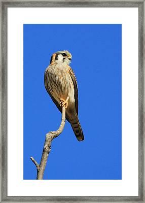 American Kestrel I Framed Print