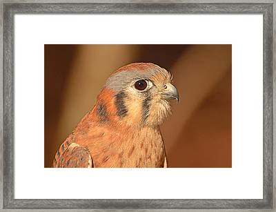 American Kestrel Framed Print by Nancy Landry