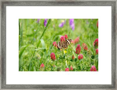 American Lady Butterfly Framed Print by Mitch Wessels