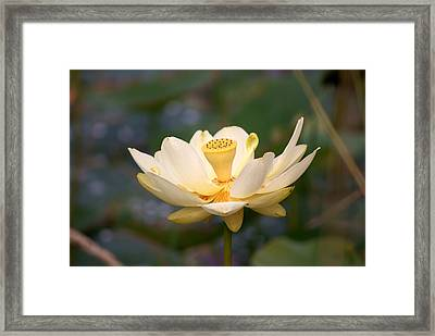 Framed Print featuring the photograph American Lotus by B Wayne Mullins