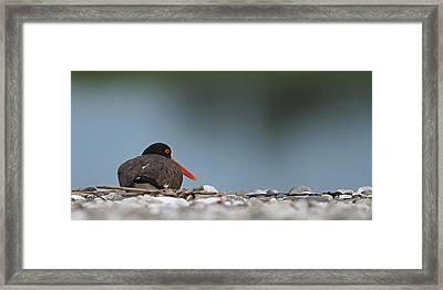 American Oystercatcher Framed Print by Brian Magnier