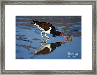 Framed Print featuring the photograph American Oystercatcher Mirror by John F Tsumas