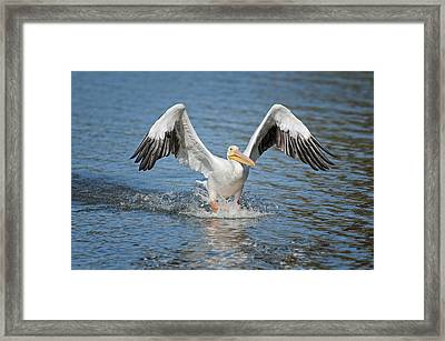 American Pelican Sliding In For A Home Run Framed Print by Bonnie Barry