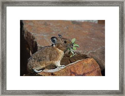 American Pika At Harts Pass Framed Print by Tom Reichner
