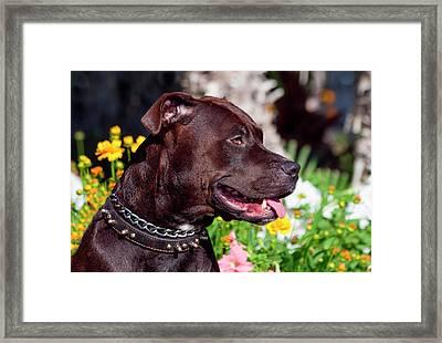 American Pit Bull Portrait (mr Framed Print