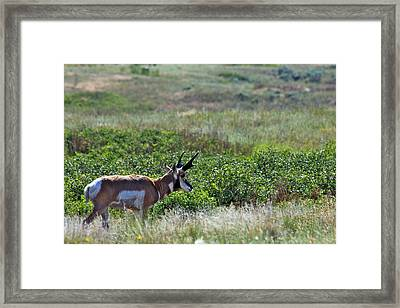 Framed Print featuring the photograph American Pronghorn Buck by Karon Melillo DeVega