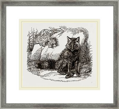 American Red Fox Framed Print by Litz Collection