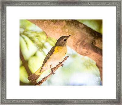 American Redstart Framed Print by Carl Jackson