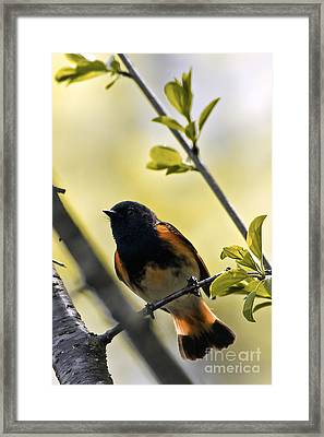 American Redstart Framed Print by Natural Focal Point Photography