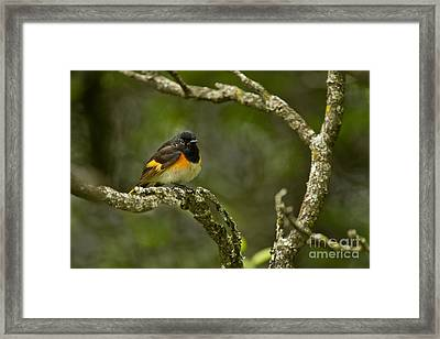 American Redstart Pictures 54 Framed Print by World Wildlife Photography