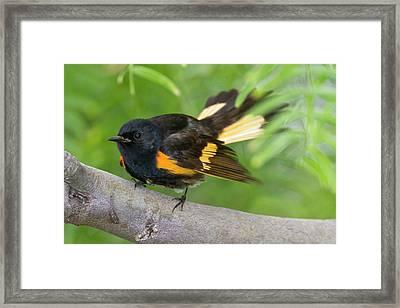 American Redstart (setophaga Ruticilla Framed Print by Larry Ditto
