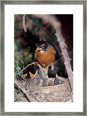 American Robin At Nest Framed Print by William H. Mullins