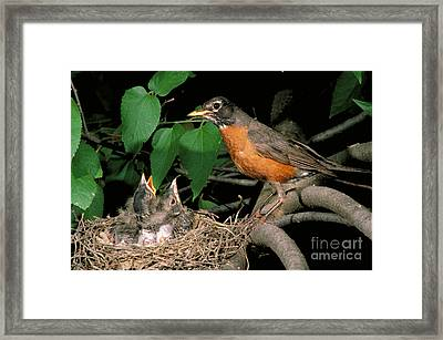 American Robin Feeding Its Young Framed Print