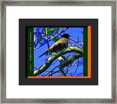 American Robin Framed Print