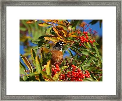 American Robin Framed Print by James Peterson