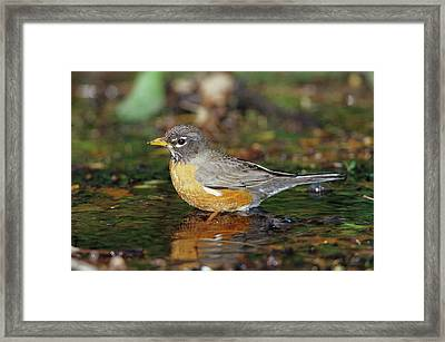 American Robin (turdis Migratorius Framed Print by Richard and Susan Day