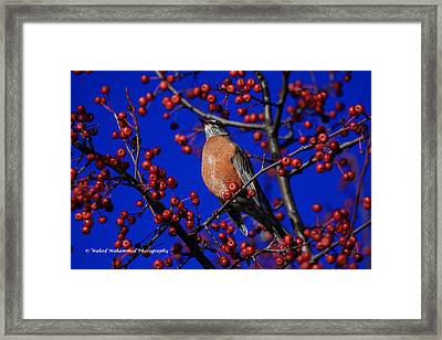 American Robin Framed Print by Wahed Mohammed