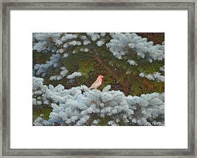 American Rosefinch Framed Print by Sonali Gangane
