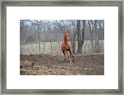 American Saddlebred Framed Print by Jennifer  King