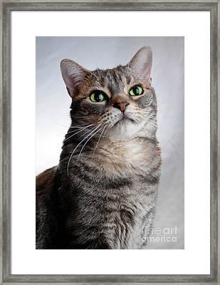 American Shorthair Portrait Framed Print