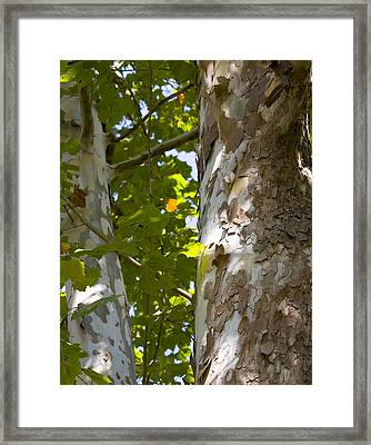 American Sycamore Framed Print by Denise Beverly