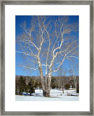 American Sycamore - Platanus Occidentalis Framed Print by Mother Nature