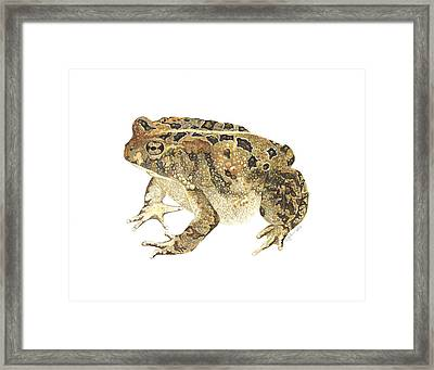 American Toad Framed Print by Cindy Hitchcock