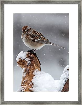American Tree Sparrow In Snow Framed Print