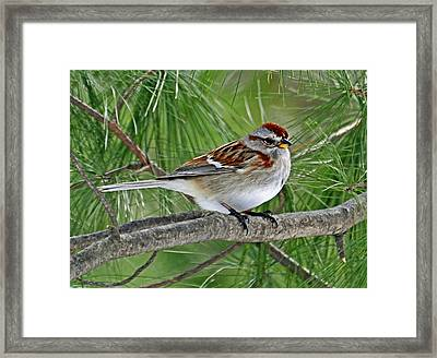 American Tree Sparrow Framed Print