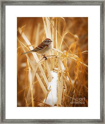 American Tree Sparrow Framed Print by Todd Bielby