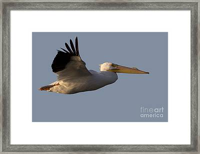 American White Pelican In Flight Framed Print by Meg Rousher
