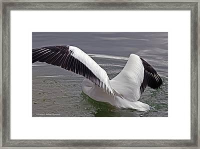American White Pelican Framed Print