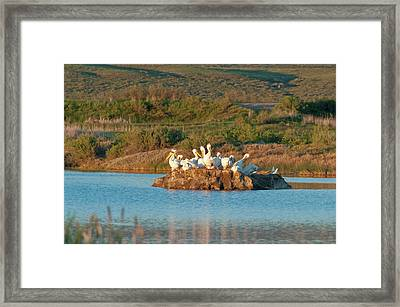 American White Pelicans On Small Island Framed Print