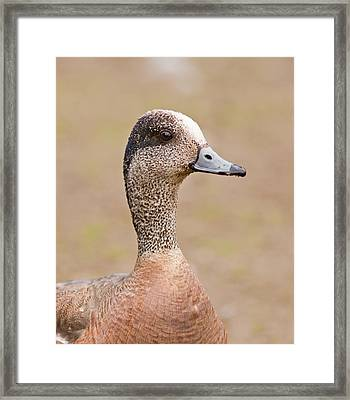 American Wigeon Framed Print by Brian Magnier