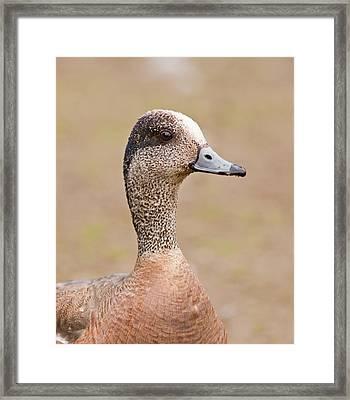 American Wigeon Framed Print