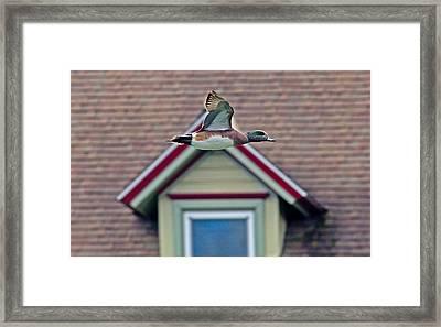 American Wigeon In Flight Framed Print