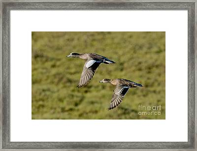 American Wigeon Pair In Flight Framed Print by Anthony Mercieca