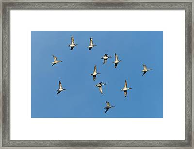 American Wigeons And Northern Pintails Framed Print by Maresa Pryor