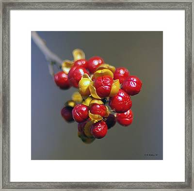 American Winterberry Framed Print by Brian Wallace